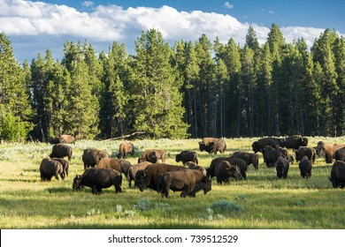 Herd of Bison (buffalo) in Yellowstone National Park, WY, USA