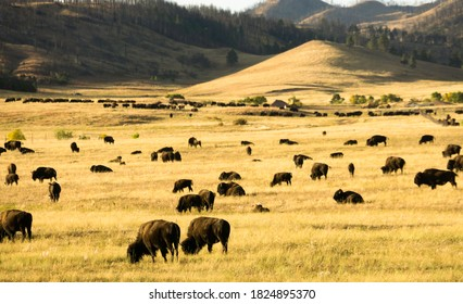 Herd of Bison in Custer State Park