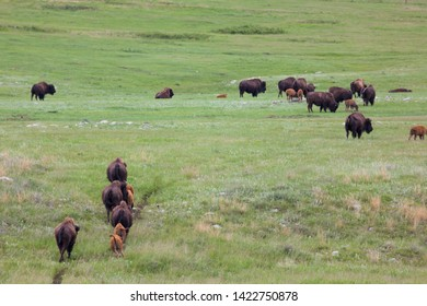 A herd of bison families walk on a well worn path across the green prairie grass in Custer State Park, South Dakota.