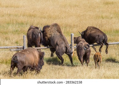 a herd of bison jumps over a ranch fence
