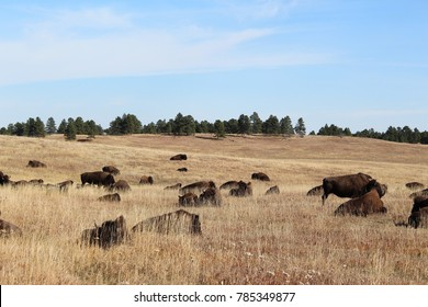 Herd of bison resting a field of dry autumn grass
