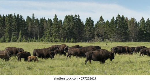 Herd of bison walking in a field, Lake Audy Campground, Riding Mountain National Park, Manitoba, Canada