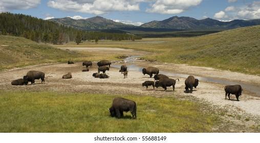 herd of bison in yellowstone's hayden valley