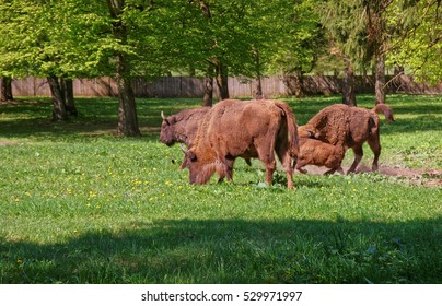 Herd of Bisons with calf in Bialowieza National Park Reserve as a part of Belovezhskaya Pushcha National Park in Poland.