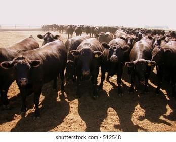 Herd of black angus cattle