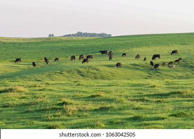 Herd of Black Angus cattle grazing in a pasture.