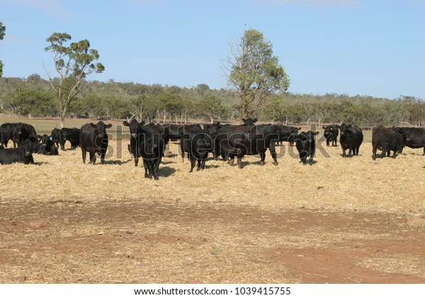 a herd of black angus cows standing and grazing in hay bales spread out on the ground on a sunny day