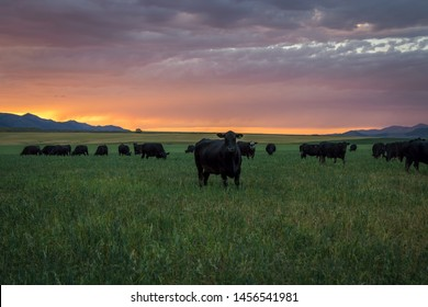 Herd of Black Angus in grass field with beautiful vibrant sunset