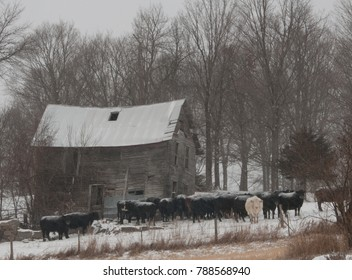 A herd of black cows, with one white cow, stands outside an old farm building during a snow flurry