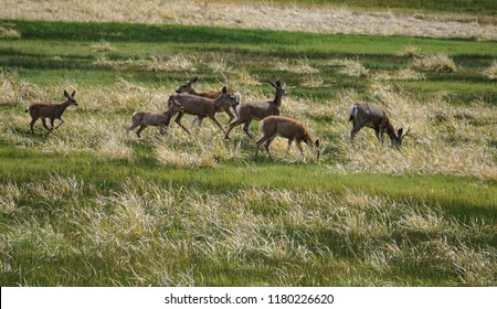 A herd of black tailed mule deer including buck, does and fawn graze in a meadow in the White Mountains of the California eastern Sierra Nevada near Bodie State Park.