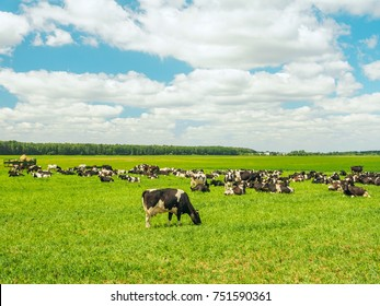 Herd of black and white cows are pasturing in the field on summer day. Some of them are eating grass, while others are resting.
