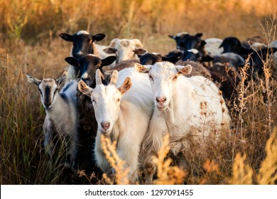 Herd of black and white goats on the evening field