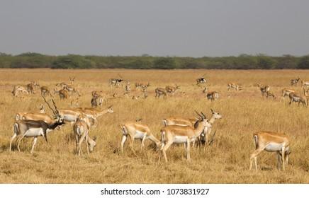 A herd  of Blackbuck against a blurred dry grassland setting, Gujarat, India