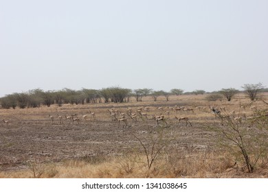 herd of blackbuck antelope at blackbuck national park, velavadar, Gujarat