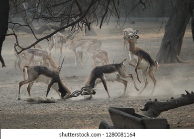 Herd of Blackbuck ( Indian Antelope)  Competing for Mating Inside Zoo
