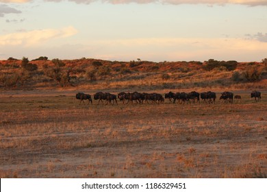 The herd of blue wildebeest (Connochaetes taurinus) or common wildebeest, white-bearded wildebeest or brindled gnu is walking in the middle of savanna in dried riverbed during sunset