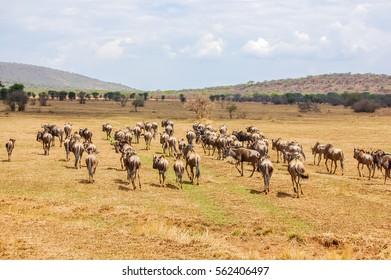 Herd of blue wildebeest (Connochaetes taurinus) in the wild savanna at Serengeti National Park safari landscape