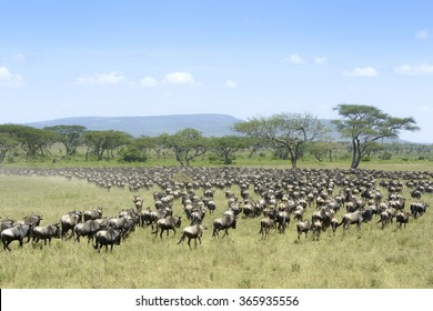 Herd of Blue Wildebeest ( Connochaetus taurinus) seen from behind, during migration, Serengeti national park, Tanzania.