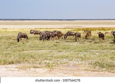 Herd blue wildebeest, Etosha pan, Namibia