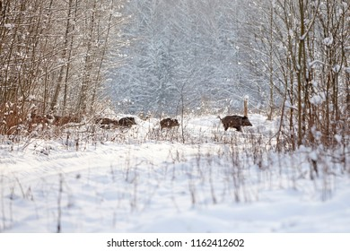herd boars running across the winter field