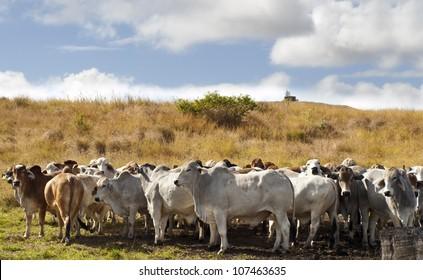 Herd of brahman beef cattle cows in rural Queensland