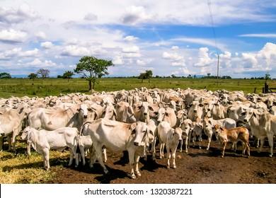 Herd of brahman beef cattle cows in rural Goias