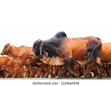 a herd of brahman cattle, white sky, isolated,