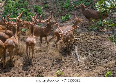A herd of  brow-antlered deers in the zoo