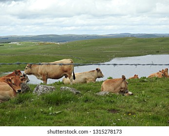 Herd of brown Aubrac cattle cows resting in green pasture with panoramic view of lake Andeol along the Way of St James (Saint-Jacques). Picturesque panorama of pilgrimage route with cloudy sky, France