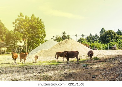 Herd of brown cows
