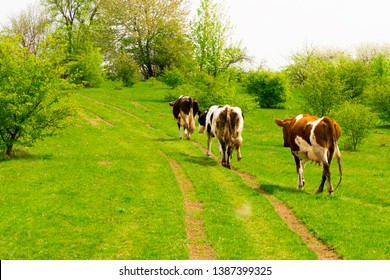 A herd of brown cows on the field. The red-haired cow is walking along the road to the pasture. The calf on the pasture eats grass. Pasture for cattle