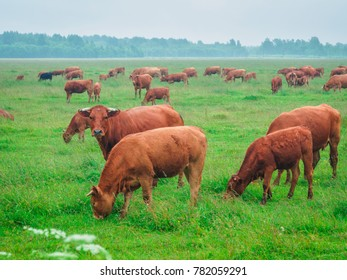 Herd of brown cows pasturing in the open field on misty summer day.