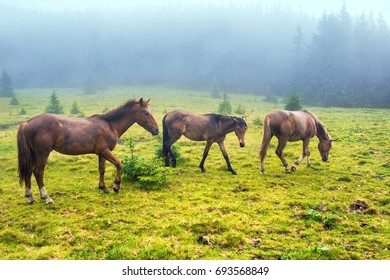 Herd of brown horses feed on the misty green field with forest