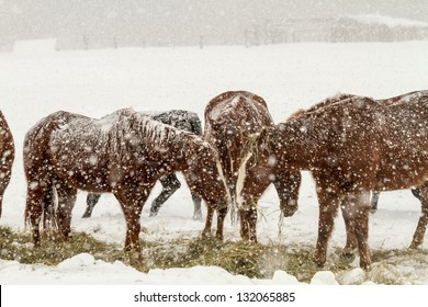 Herd of brown horses feeding in heavy snow storm