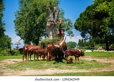 the herd of brown Watusi Bulls and a giraffe eating grass in the zoo, Italy