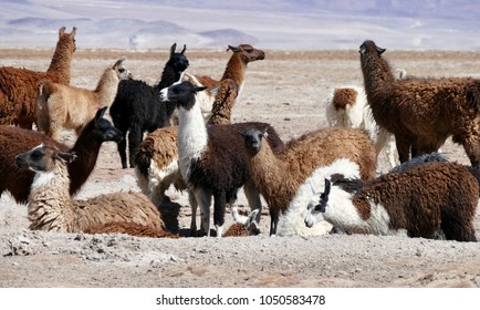 Herd of Brown, White and Black Lamas on the Bolivian Altiplano, Andes, South America