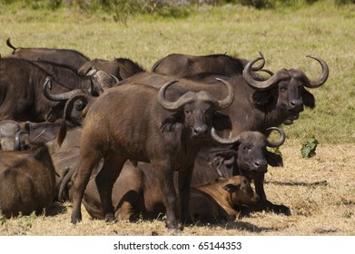 A herd of buffalo grazing in Tanzania