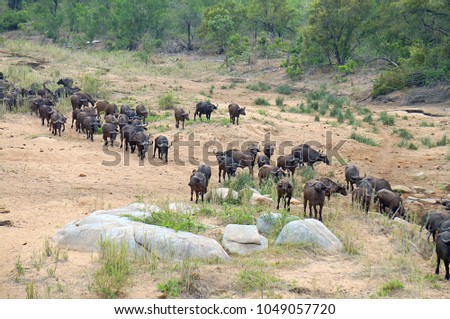 Herd of Buffalo at Kruger National Park in South Africa