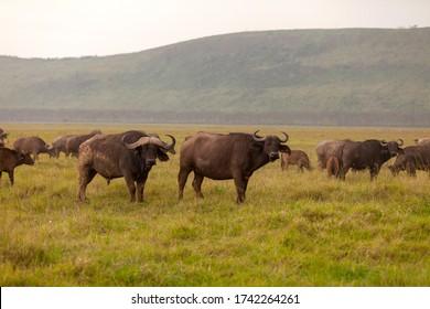 Herd of buffalo looking at you in Kenya