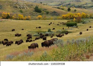 Herd of buffalo roaming and grazing the prairie of North Dakota.                       dakota..