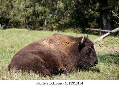 Herd of Buffalo sitting in field