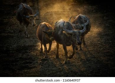 Herd of buffalo walk dawn from slope in evening light