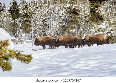 Herd if buffalo in Yellowstone National Park in Winter