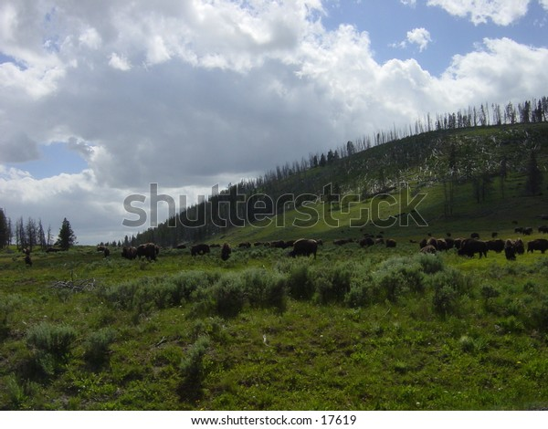 Herd of Buffalo/Bison eating on a pasture in Yellowstone National Park, Wyoming