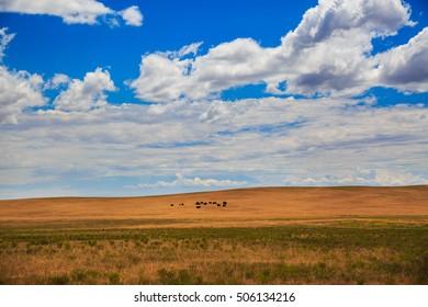 Herd of buffaloes in southern Utah