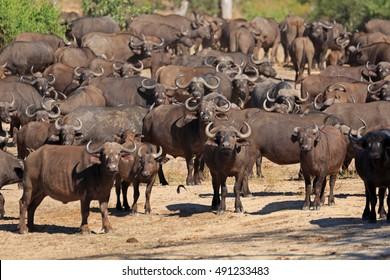 Herd of buffalos