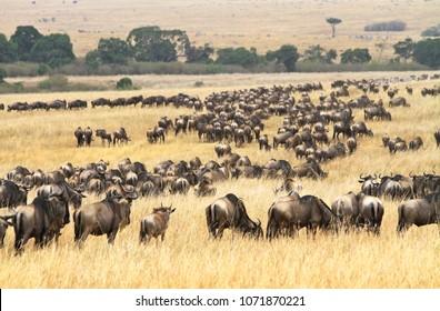 Herd of buffalos in the Masai Mara savannah, Kenia.