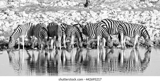 Herd of Burchells zebra (Equus quagga)drinking from a waterhole in Etosha in black & white