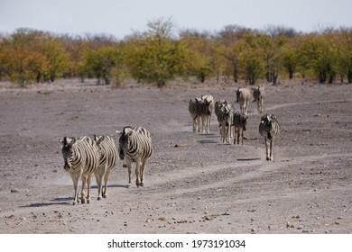 Herd of Burchell's Zebra walking in line towards waterhole in Etosha National Park, Namibia