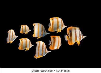 herd Butterflyfish collection swimming fish on black background/Long nose fish/blue ring angelfish/beautiful coral reef fish/school of fish,angel fish, Forceps Fish, Yellow,Copperband  butterflyfish